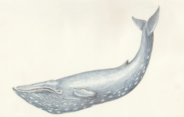 Balaenoptera Musculus