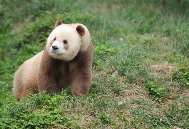 Qizai panda cafe