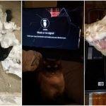 gatos malvados calamitosos