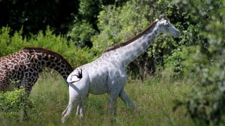 hommo la girafa con leucismo