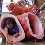 modelo del corazon de una ballena azul