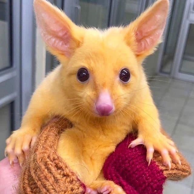 pósums marsupial amarillo en australia