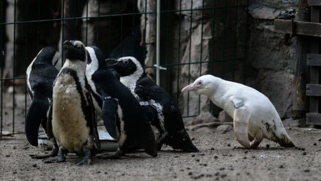 pinguino albino en el zoologico de polonia