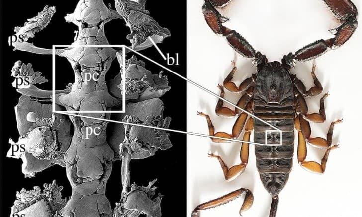 dosil de escorpion 450 millones de años