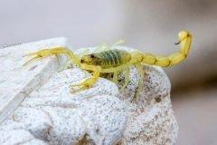 Los escorpiones serían los primeros animales en pisar tierra firme