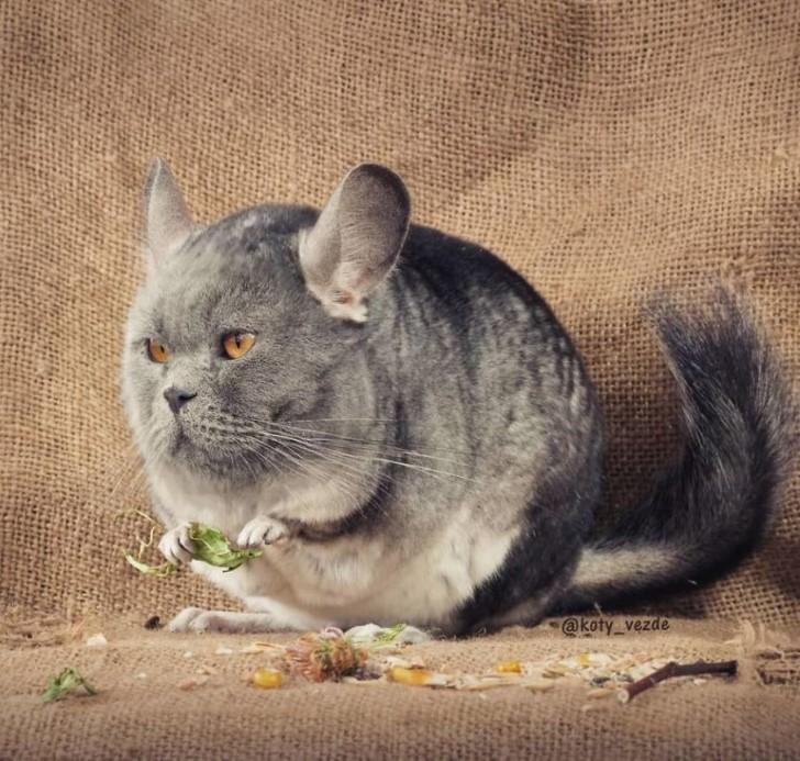 rostros de gatos en las cosas photoshop (16)