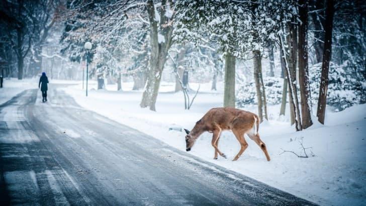 venado en un camino nevado