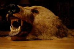 cabeza de oso taxidermia