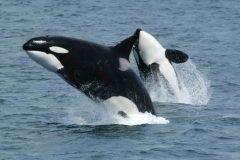 Estudio sugiere que abuelas orcas crían a sus nietos
