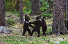 El surreal encuentro de tres osos bailando en el bosque