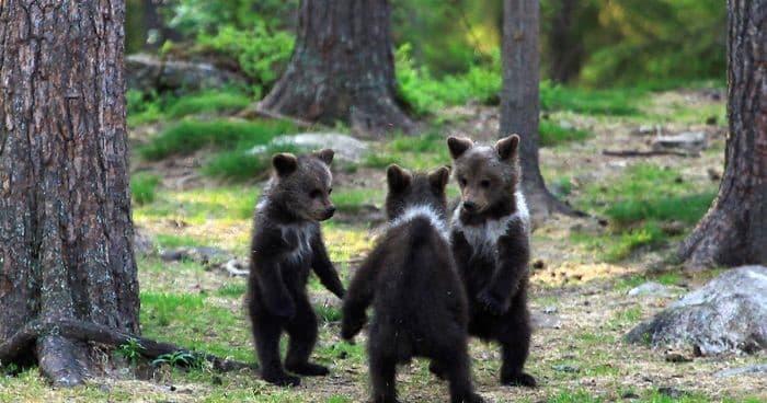 osos jugando en el bosque