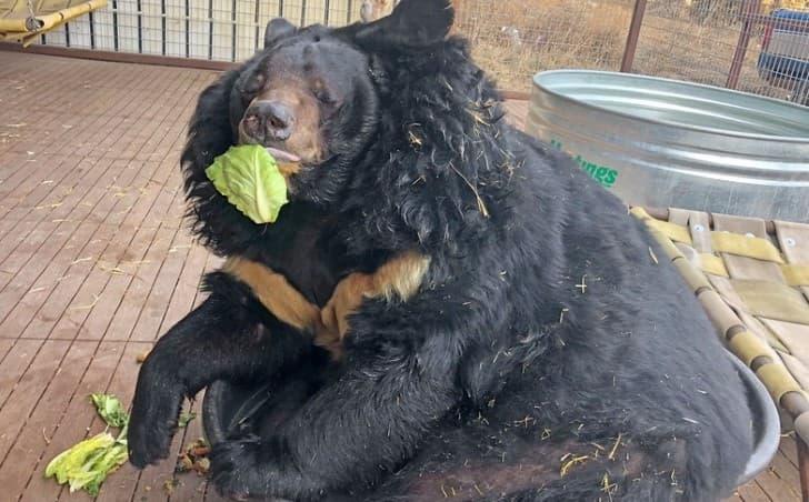dilan oso gordo comiendo lechuga
