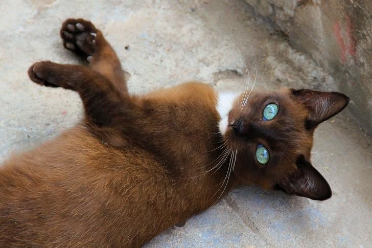 gato ahumado ojos hermosos