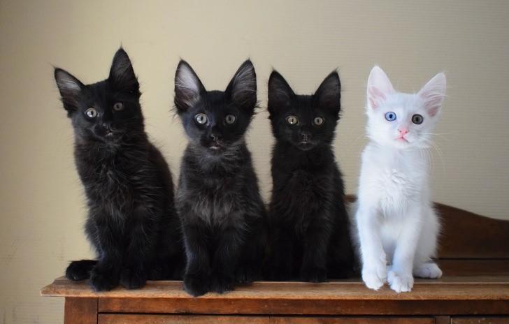 gato blanco ermanos negros