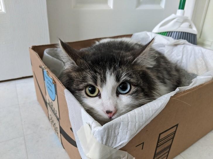 gato con heterocormia
