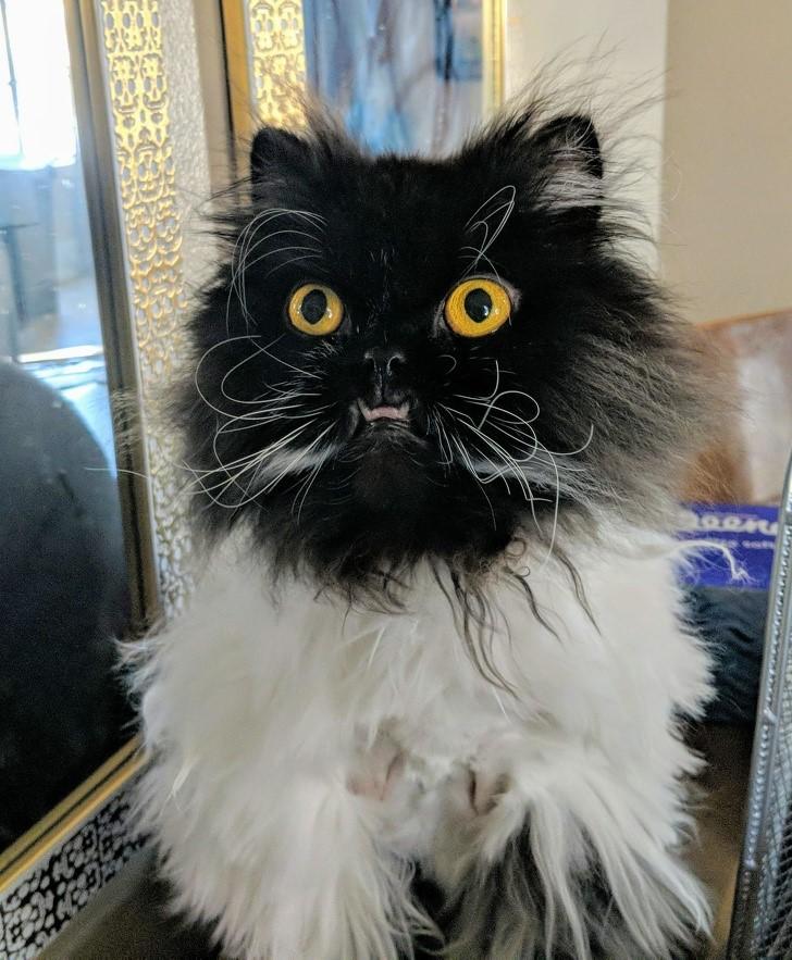 gato desaliñado
