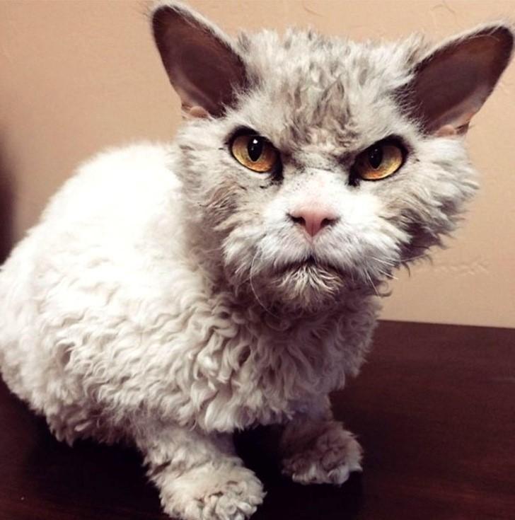 gato pelo rizado