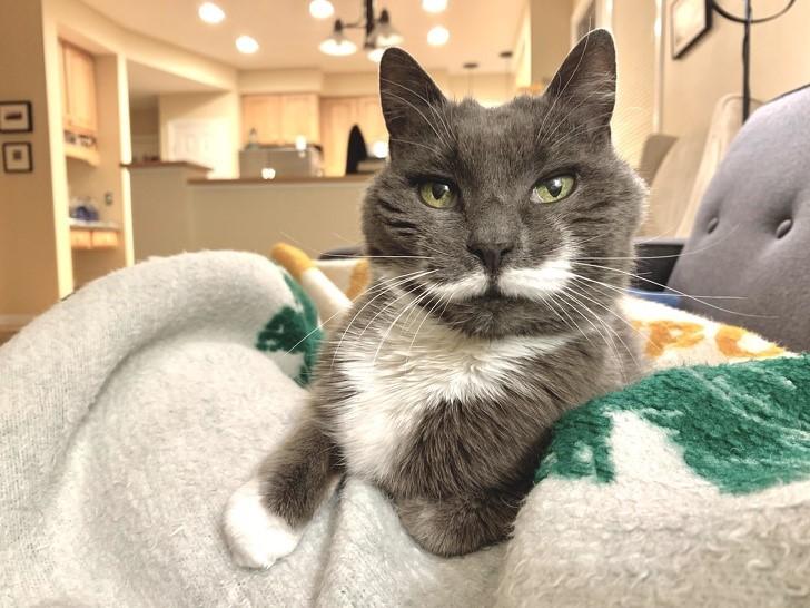 gato presumido con bigote ingles