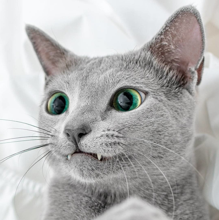 gato vampiro hermoso