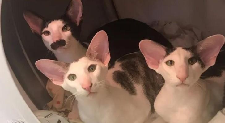gatos orejones
