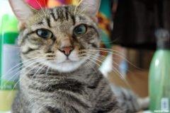 gato rayado