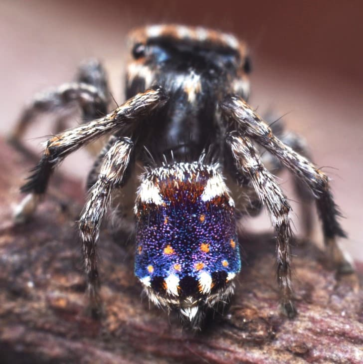 maratus constellatus