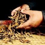 Yartsa Gunbu (Ophiocordyceps sinensis)