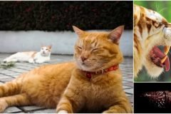 apareamiento gatos