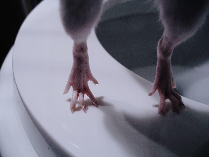 patas de una rata