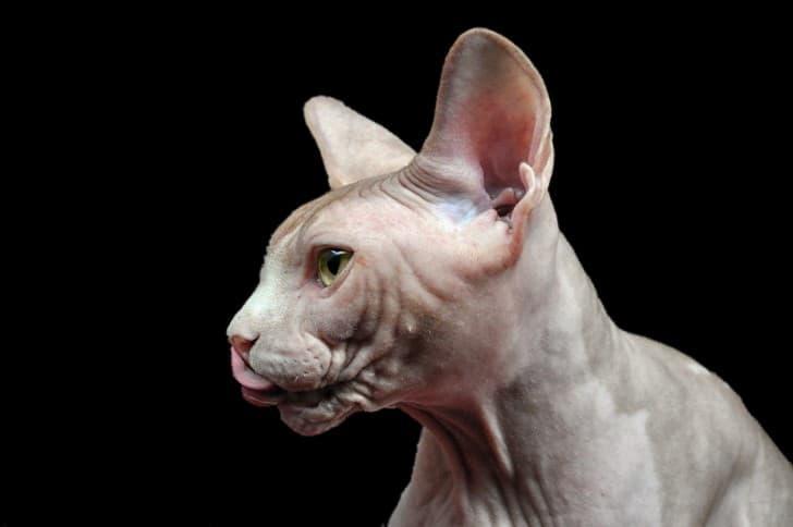 Sphynx gato sin pelo