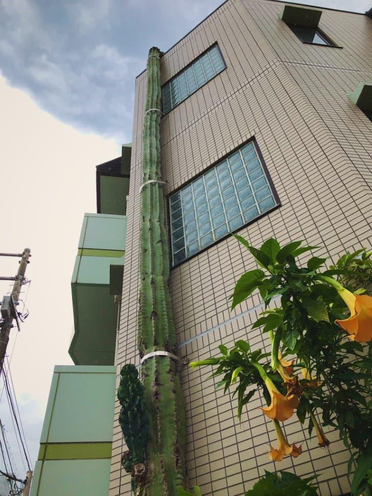 cactus gigante en Takinogawa Japon (2)