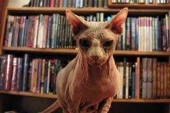gato arrugado sin pelo