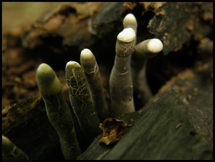 hongo que parece dedos de cadaver