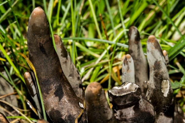 hongos dedos de muerto