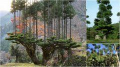 Daisugi, antigua técnica forestal japonesa