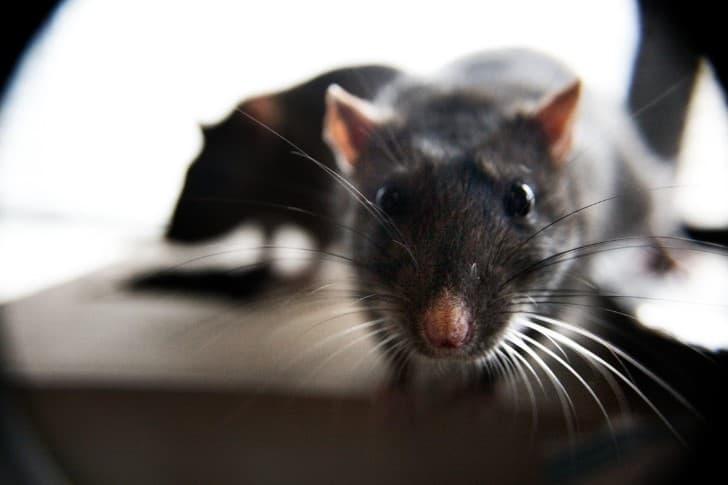 ratas(1)