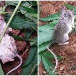 raton adicto a las drogas
