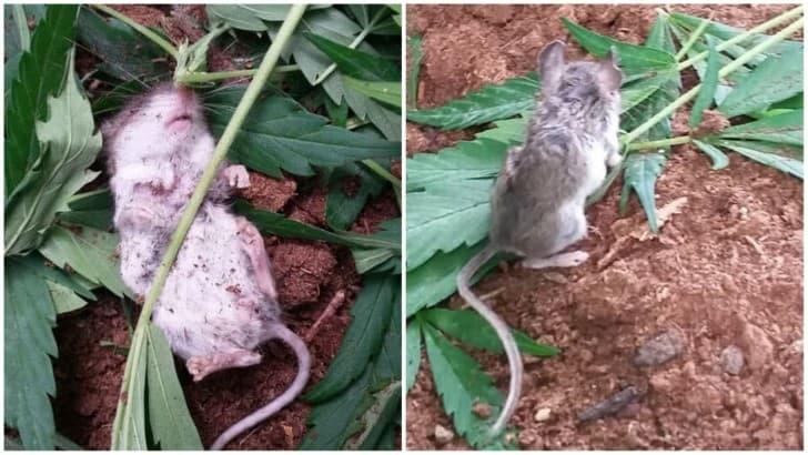 raton adicto a las drogas(1)