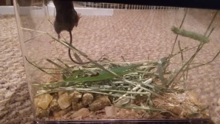 raton en rehabilitacion (1)