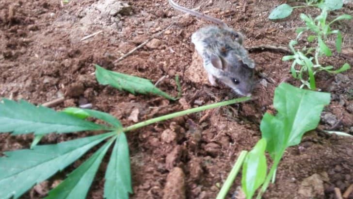 raton marihuana (2)