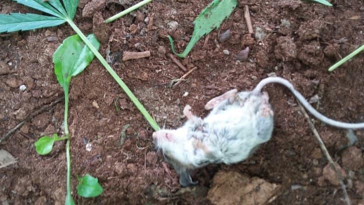 raton marihuana (3)