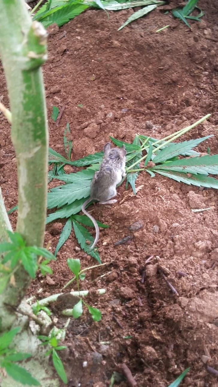 raton marihuana (4)