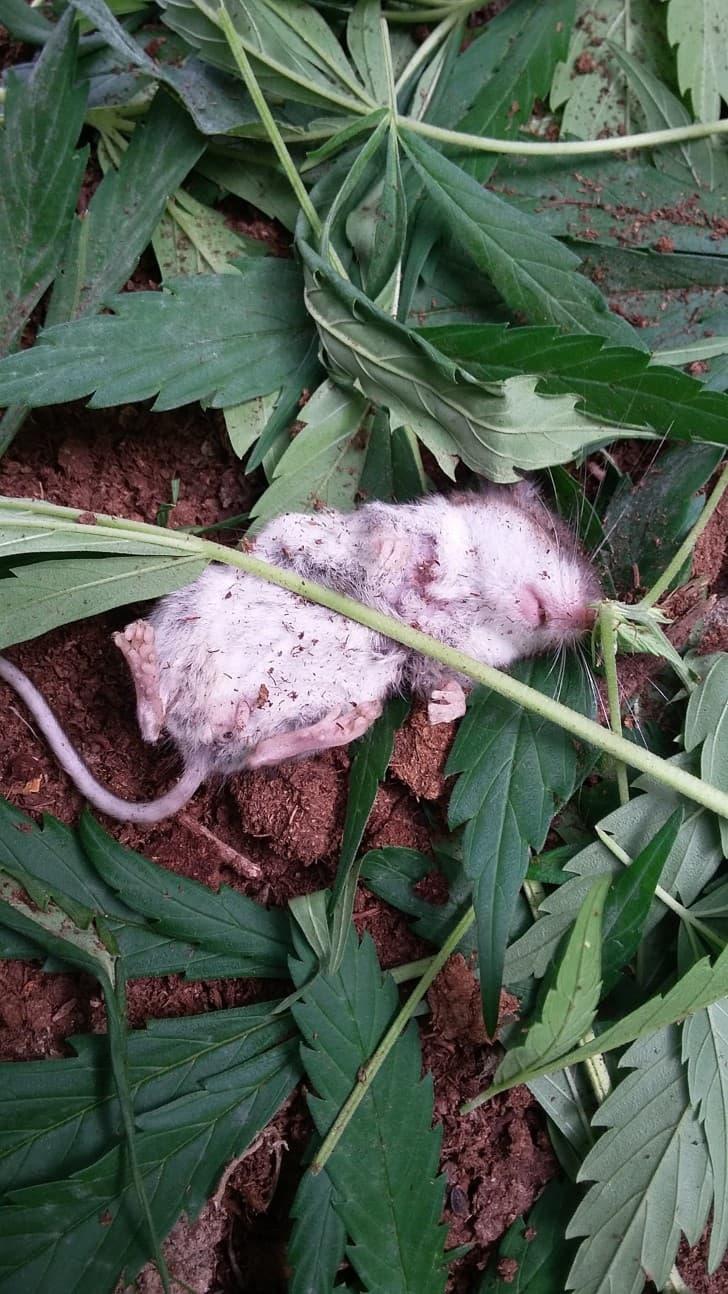 raton marihuana (5)