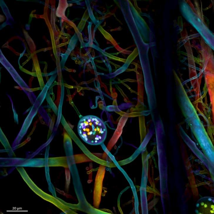 No4 SL1 spore 10 01 63x 191126 Color coded Projection(1)