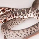 Serpiente de dos cabezas (1)