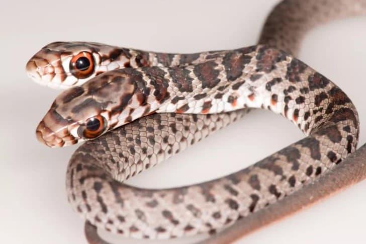 Serpiente de dos cabezas (1)(1)