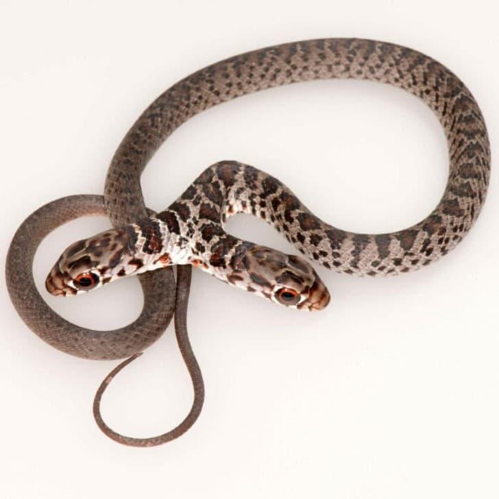 Serpiente de dos cabezas (2)(1)
