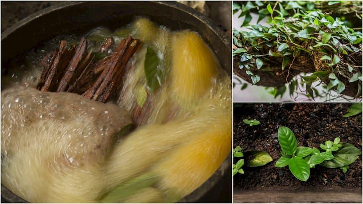 Preparacion de la ayahuasca(1)