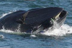 buzo engullido por ballena