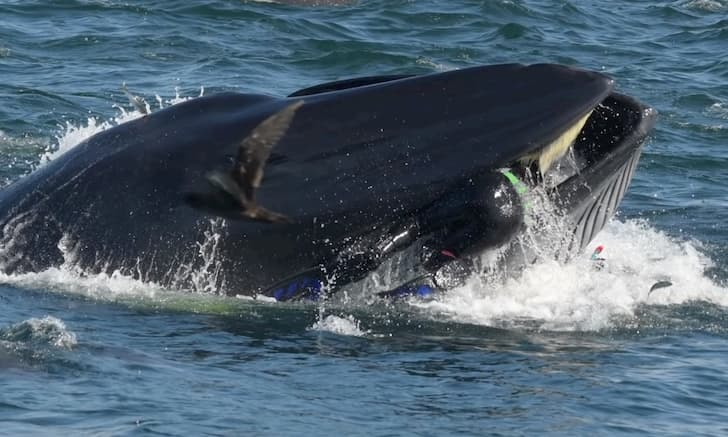 buzo engullido por ballena(1)